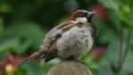 House sparrow perched on a fence post (c) Paul Cooper