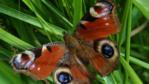 A peacock butterfly on grass (c) Dawn Burkey