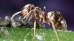 Negro ant tending aphids