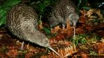 Two great spotted kiwis