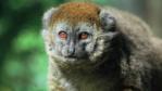 Alaotran gentle lemur portrait