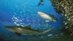 Sand tiger sharks swimming around a wreck in the Atlantic Ocean