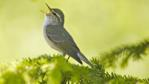 Arctic warbler perched on a branch singing