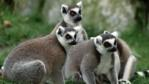 Ring-tailed lemur group sitting on the ground