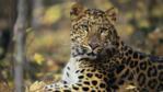 Close-up of a sitting Amur leopard