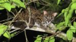 Leopard cat resting in a tree on the bank of the Kinabatangan River
