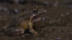 Coastal mud frog in mud