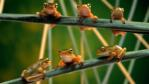 Six tree frogs sitting on branches