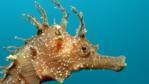 Spiny seahorse portrait