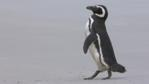 A Magellanic penguin walking on a beach