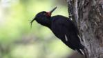 Female Magellanic woodpecker on a tree