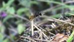 Mason Bee carrying grass to cover nest in snail shell