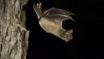 Mexican free-tailed bat flying from day roost in tree hole