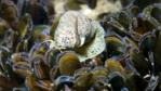 A netted dog whelk in the middle of a common mussel colony