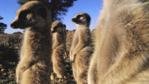 A group of meerkats standing guard