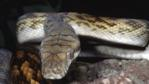 Close-up of an amethystine python