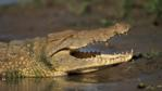 Nile crocodile with jaws open