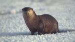 River otter emerging from thermal spring in Yellowstone