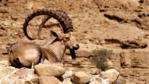 A Nubian ibex in the Judian Desert, Israel