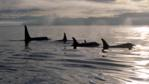 A pod of orcas out at sea at dawn