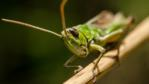 Meadow grasshopper on a twig (c) Derek Budd
