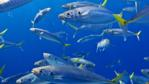 School of scad mackerel