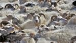 A tightly packed flock of sheep