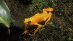 A Panamanian golden frog