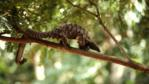 A long-tailed pangolin in the rainforest canopy