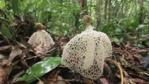 The ladies veil stinkhorn fungus