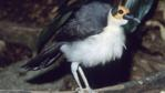 Bare-headed Rockfowl with fluffed feathers