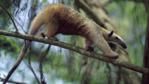 Lesser anteater walking along a tree branch