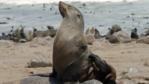 Cape fur seal on rock with colony behind