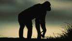 A silhouetted bonobo