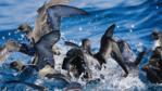 Shearwaters fight for food on the surface of the sea