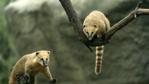 A pair of ring-tailed coatimundis perched in tree branches