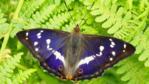 Purple emperor on green fern leaves (c) Iain Leach