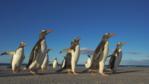 Gentoo penguins walking along a beach