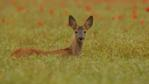 A male roe deer fawn looks alert