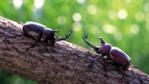 Two scarab beetles face each other on a branch