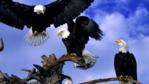 A group of bald eagles on a dead tree