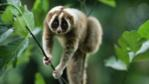 Slow loris climbing through vegetation