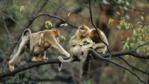 Golden snub nosed monkeys grooming in a tree
