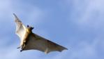 Straw-coloured fruit bat in flight
