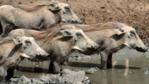 Warthog family at a waterhole