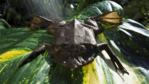 A Surinam toad lying on a large leaf