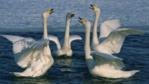 Four swans performing a courtship dance on a lake