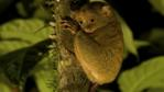 Tarsier clinging to a tree