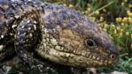 Portrait of a shingleback lizard
