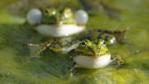 Two edible frogs in pond